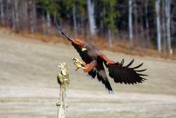 The Harris's Hawk (Parabuteo unicinctus) formerly known as the Bay-Winged Hawk or Dusky Hawk Flying.Hawk lands on a dry branch.