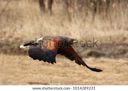 Shutterstock The Harris's hawk (Parabuteo unicinctus) formerly known as the bay-winged hawk or dusky hawk flying flying through the autumn forest