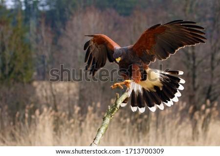 The Harris's Hawk (Parabuteo unicinctus) formerly known as the Bay-Winged Hawk or Dusky Hawk Flying.Hawk lands on a dry branch. Сток-фото ©