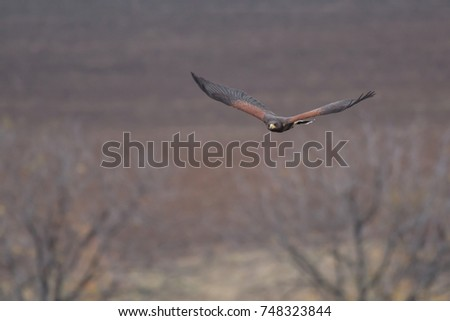 Shutterstock The Harris's hawk , Parabuteo unicinctus, formerly known as the bay-winged hawk or dusky hawk, is a medium-large bird of prey