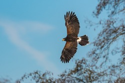 The Harris's hawk (Parabuteo unicinctus) is the only bird of prey that hunts in the group