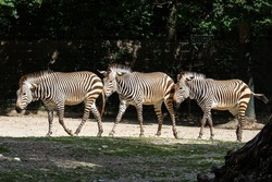 The Hartmann's mountain zebra, Equus zebra hartmannae is a subspecies of the mountain zebra found in far south-western Angola and western Namibia.
