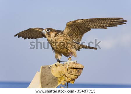 The hawk about to fly - stock photo
