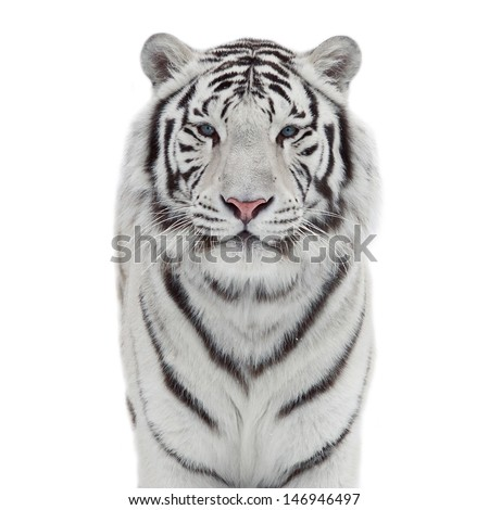 The head and chest of a white bengal tiger in snowflakes isolated on white background
