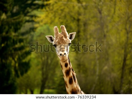 The head and neck of a mature Rothschild giraffe