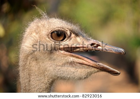 The head and neck of both male and female Ostriches is nearly bare, with a thin layer of down.