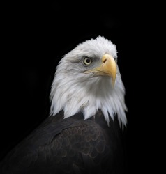 The head and shoulder of bald eagle, haliaeetus leucocephalus, isolated on black background. The American eagle, US national character, very beautiful bird with proud expression.