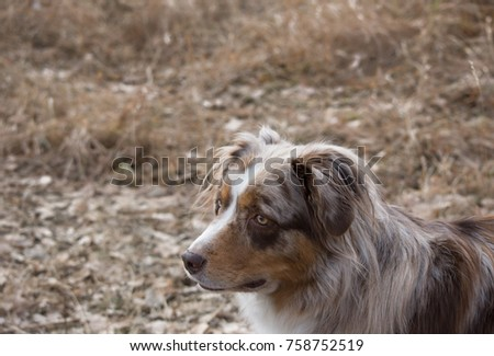 The head and shoulders of a brown and white Australian Shepherd from above. Shallow depth of field. Photographed with natural light. #758752519