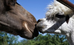 The head of a camel and a llama, sniffing at each other, to the touch, animal cooperation