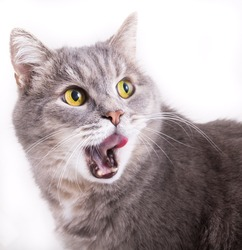 The head of a cat who turned back and licks lips. White background, close up