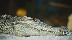 The head of a crocodile. Close-up. Fragment