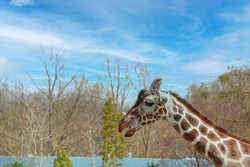 The head of a giraffe against a background of blue sky and treetops