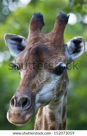 The head of a giraffe female on green blur background. Face portrait of the highest animal of the world. Wild beauty of the exotic animal from African savanna.