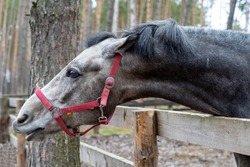 The head of a gray horse peeks out from behind a wooden fence. An animal with a red bridle in the forest on the street in the corral. The head of the horse reaches forward.