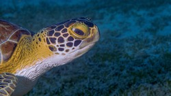The Head of a Green Turtle at Frederiksted Pier in St Croix of the US Virgin Islands