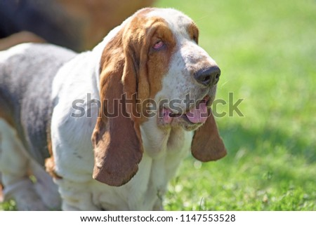 The head of a hunting dog with long hanging ears #1147553528