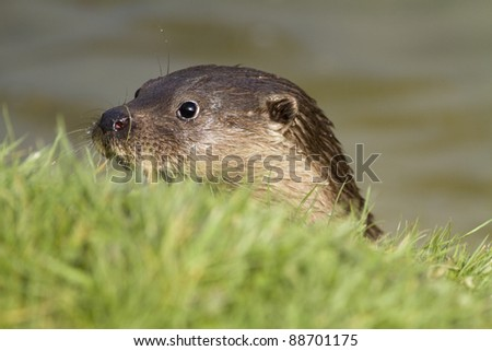 The head of a native British otter peering from the river onto the grass bank.