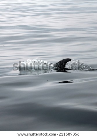 The  head of a rare Rizzos dolphin breaks the waters surface before blowing