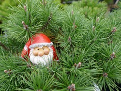 The head of a Santa Claus with white beard and red Santa hat peeks out between pine branches. (Not copyrighted)