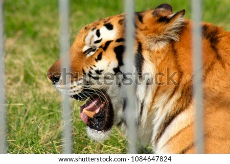 The head of a tiger with an open mouth, shot through the bars of a cage #1084647824