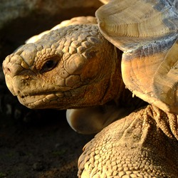 The head of a turtle. Turtle skin and scales. Shelled animals and details of tortoise species