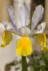 The head of a yellow and white iris showing the three petals of yellow and 6 petals of white.