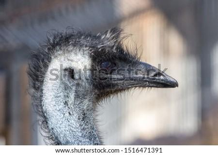 The head of an ostrich. Ostrich farm. Beak, eyes and ear of a bird close-up. Long necked bird. Ostrich Emu. Contact Zoo. Ostrich fluff and feathers. The bird blinks. Curious look. #1516471391