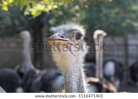 The head of an ostrich. Ostrich farm. Beak, eyes and ear of a bird close-up. Long necked bird. Ostrich Emu. Contact Zoo. Ostrich fluff and feathers. The bird blinks. Curious look. #1516471403