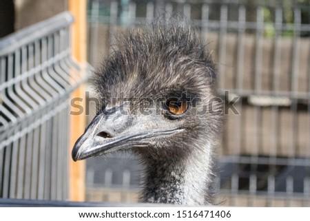 The head of an ostrich. Ostrich farm. Beak, eyes and ear of a bird close-up. Long necked bird. Ostrich Emu. Contact Zoo. Ostrich fluff and feathers. The bird blinks. Curious look. #1516471406