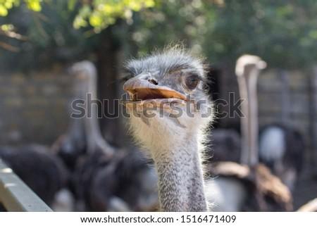 The head of an ostrich. Ostrich farm. Beak, eyes and ear of a bird close-up. Long necked bird. Ostrich Emu. Contact Zoo. Ostrich fluff and feathers. The bird blinks. Curious look. #1516471409