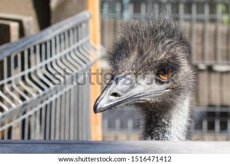 The head of an ostrich. Ostrich farm. Beak, eyes and ear of a bird close-up. Long necked bird. Ostrich Emu. Contact Zoo. Ostrich fluff and feathers. The bird blinks. Curious look. #1516471412
