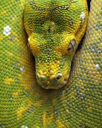 The head of green tree python snake. This snake is not venomous.