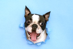 The head of the dog breed Boston Terrier peeking out through a hole in the blue paper.Creative. Minimalism.