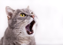 The head of the gray cat looking up, mewing and having widely opened a mouth. Horizontal shot, white background, close up