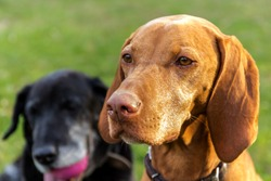 The head of the Hungarian hound female. Hungarian dog Vizsla on meadow. Pet. Dog's eyes.
