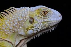 The head of the yellow iguana (Iguana iguana) looks beautiful and elegant.
