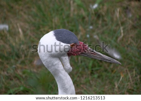 The head portrait of the large male crane bird with long gray and sharp beak, many red skin growths near the beak, large red eyes, large empty bag under the beak, gray crown of the head, long and whit