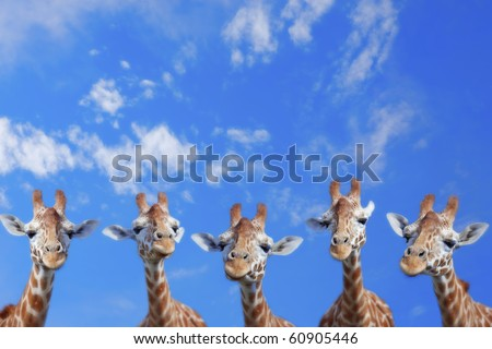 The heads of five giraffes against blue sky