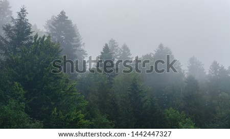 The healthy green trees in a forest of old spruce, fir and pine. Landscape with fir forest in retro style. The dramatic wall fir-tree forest across the sky in the fog for dramatic creative background.