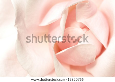the heart of a beautiful pink rose flower