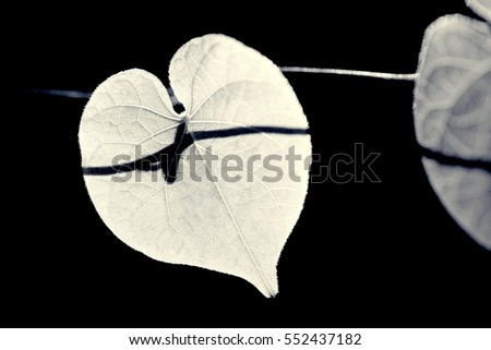 the heart shape leaf under the sun light in the morning in black and white  #552437182