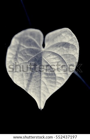 the heart shape leaf under the sun light in the morning in black and white  #552437197