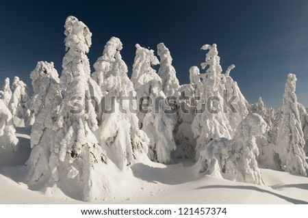 The heavy snow covered forest trees  in the Kysuce region of northern Slovakia.