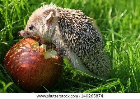 The hedgehog eats an apple