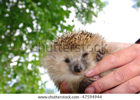 The hedgehog in human hands, looks screw up ones eyes in an objective