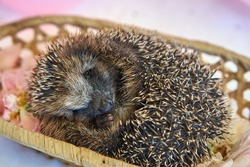 The Hedgehog is sleeping. The hedgehog fell asleep in the basket. Video postcard with an animal and flowers. High quality 4k footage
