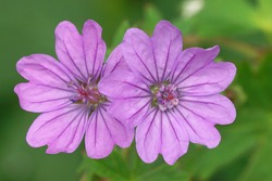The Hedgerow Cranes-bill or mountain cranesbill, Geranium pyrenaicum is a good and attractive plant for a natural garden and attracts a lot of visitors.