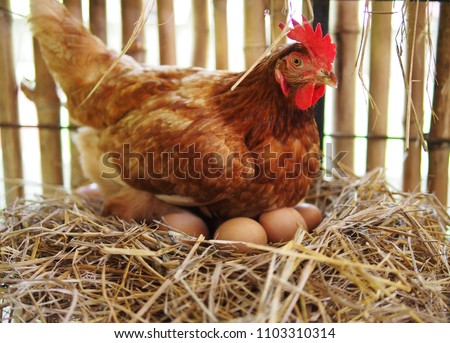 The hen is hatching the egg in the coop/hatching the egg Stockfoto ©