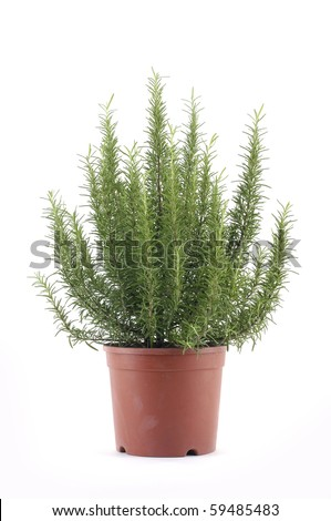 The herb Rosemary in a flower pot isolated