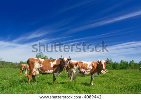 The herd of cows is grazed on a pasture